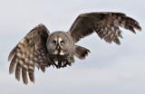 Week 9 Great_Grey_Owl_223_47085.jpg