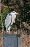 Week 12 Grey_Heron_226_47443_ed2.jpg
