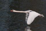 Week 13 Mute_Swan_Flying_226_47479_ed1.jpg