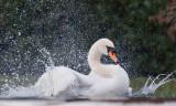 Week 13 Mute_Swan_Splashing_227_47498.jpg