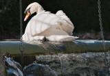 Week 13 Mute_Swan_Paddling_227_47606_ed2.jpg