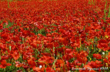 Red poppies - Papaveri rossi