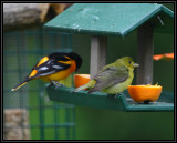 Baltimore oriole / Scarlet tanager