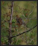 Blue grosbeak (female)
