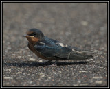 Barn swallow (fledgling)