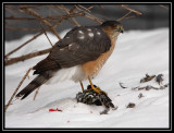 Sharp-shinned hawk ©  Liz Stanley