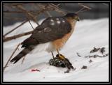 Sharp-shinned hawk ©  Liz Stanley