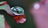 Rose leaf raindrop