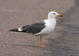Lesser Black-backed Gull - May 2011