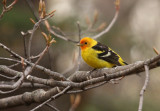 Western Tanager - May 2011