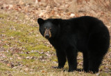 Black Bear 4283