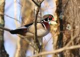 Wood Duck 5476