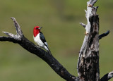 Red-headed Woodpecker - June 2012