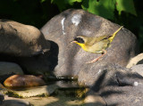 Common Yellowthroat 9689