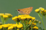 Fiery Skipper 9766