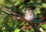 Lincoln's Sparrow 1545