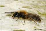 Zwart-rosse Zandbij - Andrena clarkella fotoopa_20110217_41159