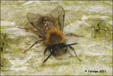 Zwart-rosse Zandbij - Andrena clarkella fotoopa_20110217_41161