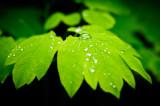 Spring leaf w. drops