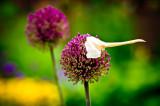 Allium with hat
