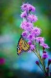 Monarch at Liatris