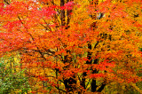Red Maple Blue Hills