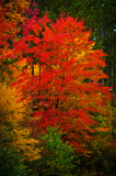Red Maple Blue Hills 1