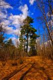 Big, old pine tree