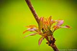 Elderberry shoot