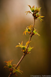 Elderberry branch