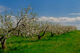 Bayfield apple orchard