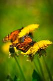 Monarchs and dandelions