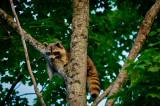 Racoon lookout