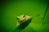 Baby Tree Frog on leave