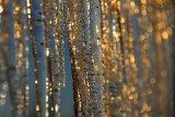 A golden icicle curtain