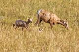 Big Horn Sheep - Badlands National Park