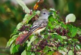 FLYCATCHER, GREAT CREASTED