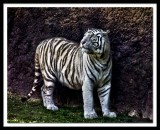 beautiful white tiger...
