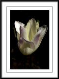 new tulip in the garden this Spring 2011...