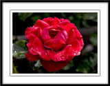 raindrops on the velvety red rose...