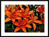 my orange lillies...