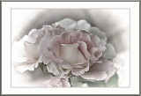 my pink roses...