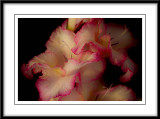 pink and white gladioli...