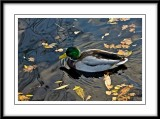 a beautiful mallard...