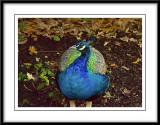 proud peacock...