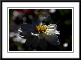 a pretty white dahlia...