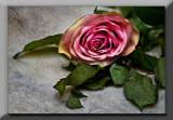 Fading rose...