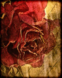 textured faded red roses...