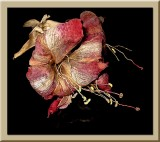 faded amaryllis...
