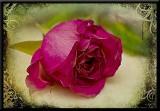 fading fushia rose...
